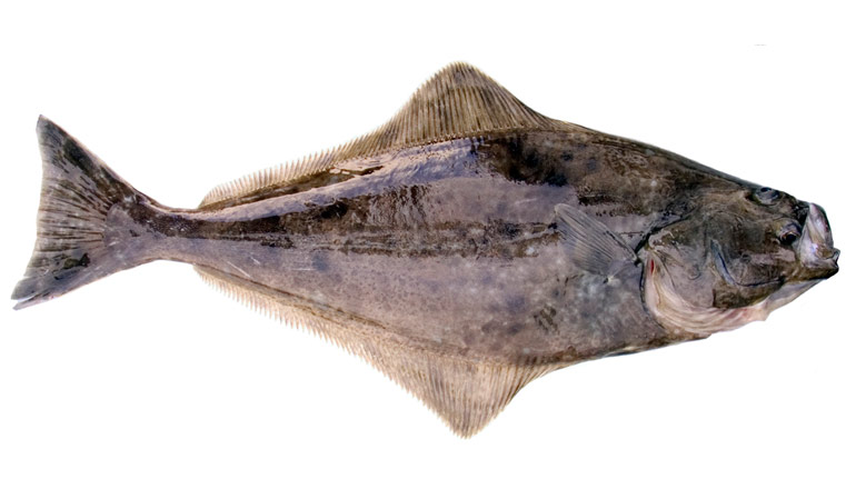 Plan Now for Upcoming Halibut and Lingcod Seasons